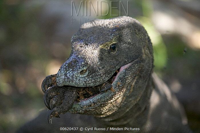 Komodo Dragon (Varanus komodoensis) eats the carcass of another dragon, Rinca Island, Komodo National Park, Indonesia  -  Cyril Ruoso