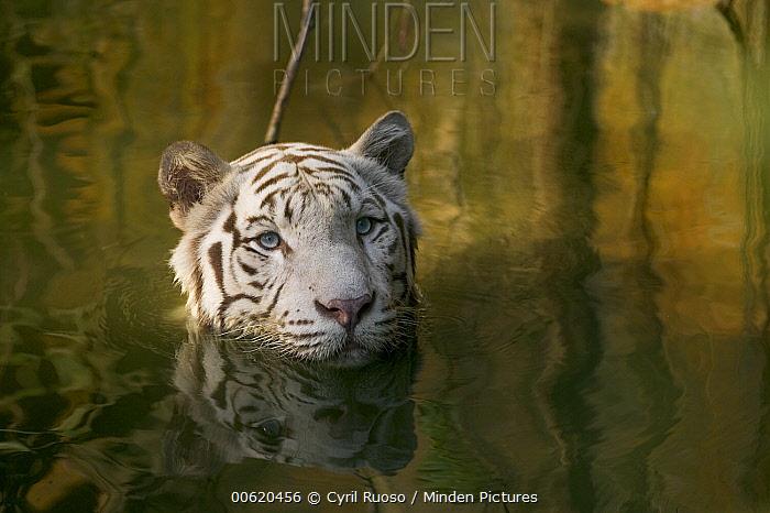 Bengal Tiger (Panthera tigris tigris), white adult wading through water, native to Asia  -  Cyril Ruoso
