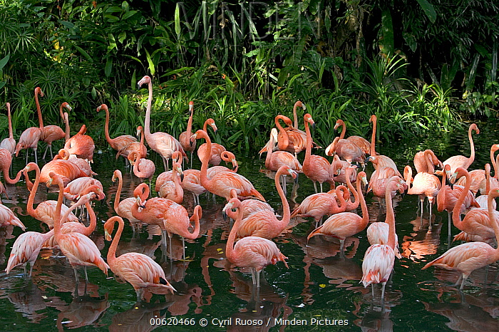Greater Flamingo (Phoenicopterus ruber) flock wading in shallow water, principally native to the Caribbean region and Galapagos Islands, Ecuador  -  Cyril Ruoso