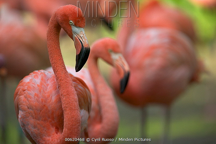 Greater Flamingo (Phoenicopterus ruber) group, principally native to the Caribbean region and Galapagos Islands, Ecuador  -  Cyril Ruoso
