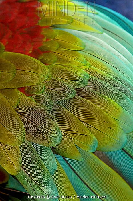 Red and Green Macaw (Ara chloroptera) close-up of colorful feathers, South America  -  Cyril Ruoso
