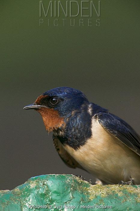 Barn Swallow (Hirundo rustica) close-up portrait, France  -  Cyril Ruoso