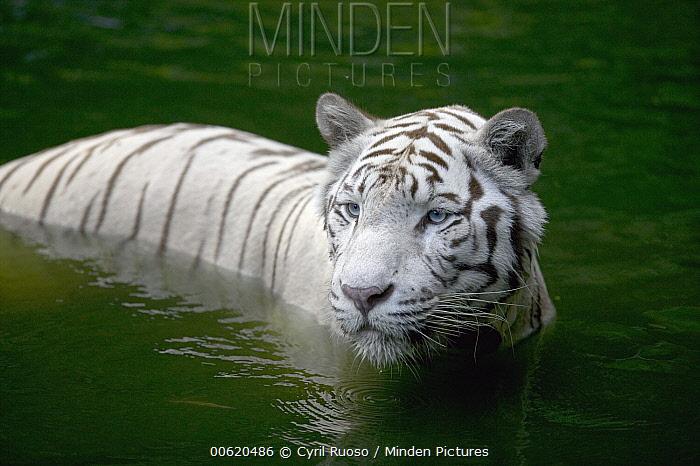 Bengal Tiger (Panthera tigris tigris) white adult wading through water, native to Asia  -  Cyril Ruoso