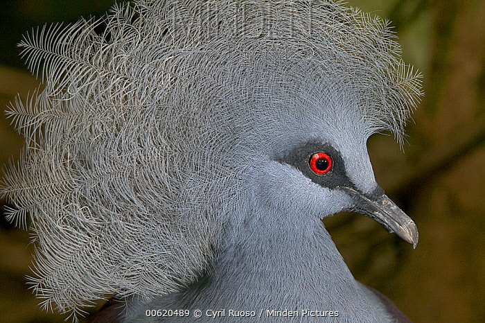 Western Crowned-Pigeon (Goura cristata), native to New Guinea  -  Cyril Ruoso