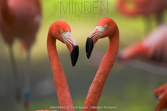 Greater Flamingo (Phoenicopterus ruber) pair, principally native to the Caribbean region and Galapagos Islands, Ecuador  -  Cyril Ruoso