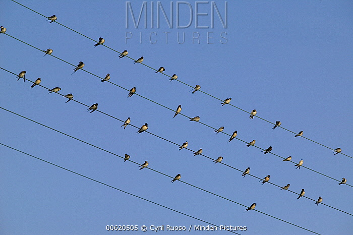 Barn Swallow (Hirundo rustica) migratory flock perching on telephone wires, Poitou, France  -  Cyril Ruoso