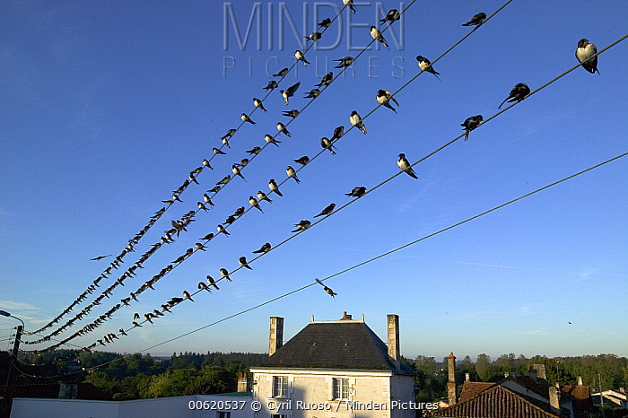 Barn Swallow (Hirundo rustica) migratory flock perching on telephone wire, Poitou, France  -  Cyril Ruoso
