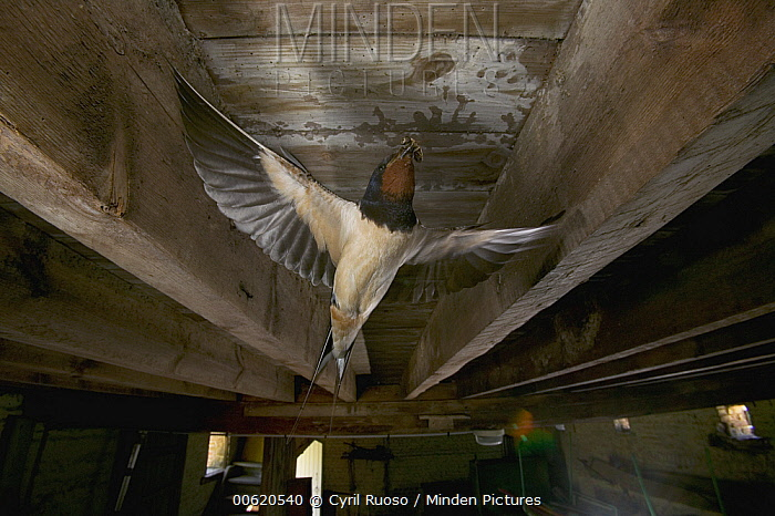 Barn Swallow (Hirundo rustica) bringing food to chicks, spring, France  -  Cyril Ruoso