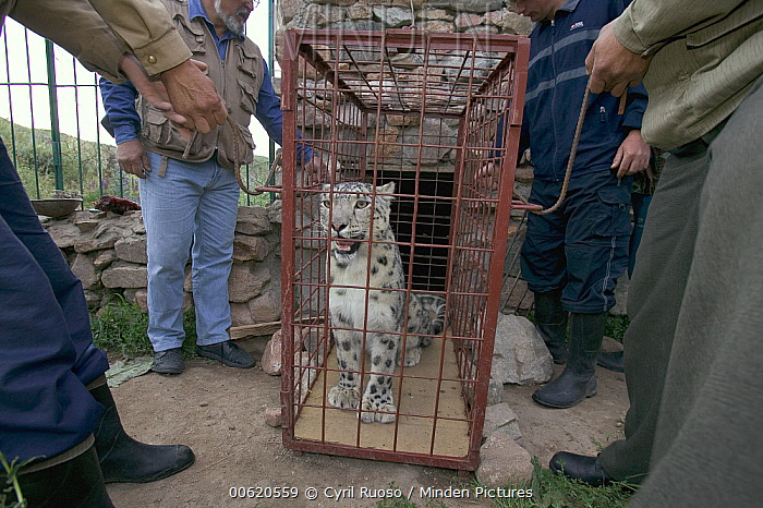 Snow Leopard (Uncia uncia) confiscated by government anti-poaching team, Kyrghyzstan  -  Cyril Ruoso