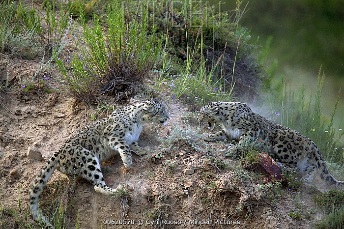 Snow Leopard (Uncia uncia) pair playing, native to Asia and Russia  -  Cyril Ruoso