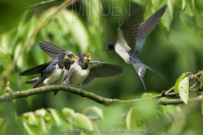 Barn Swallow (Hirundo rustica) fledglings on the morning they left the nest, begging for food from parent, Picardie, France  -  Cyril Ruoso