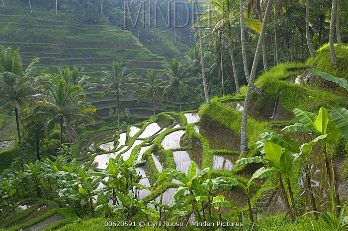 Terraced rice paddy fields, Ubud area, Bali, Indonesia  -  Cyril Ruoso