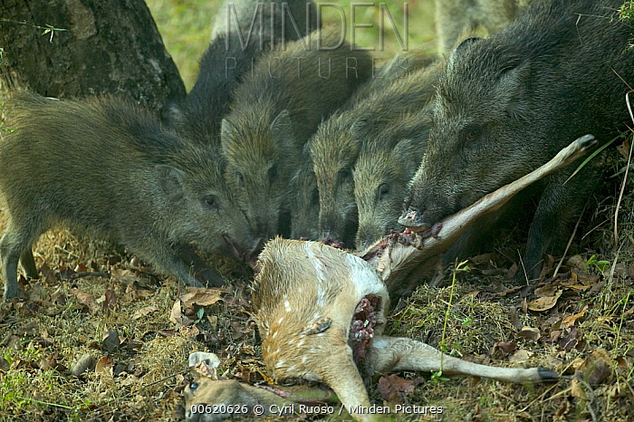 Wild Boar (Sus scrofa) feeding on Axis Deer (Axis axis) stolen from Dholes, Bandhavgarh National Park, India  -  Cyril Ruoso