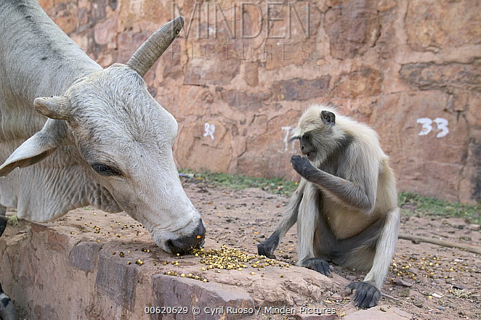 Hanuman Langur (Semnopithecus entellus) sharing offering with sacred cow, Ranthambore Reserve, Rajasthan, India  -  Cyril Ruoso