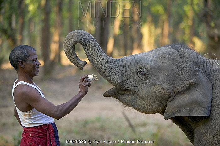 Asian Elephant (Elephas maximus) mahout feeding young domestic elephant bread, India  -  Cyril Ruoso