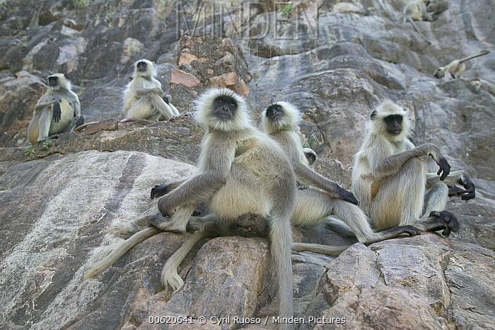 Hanuman Langur (Semnopithecus entellus) troop, Ranthambore Reserve, Rajasthan, India  -  Cyril Ruoso