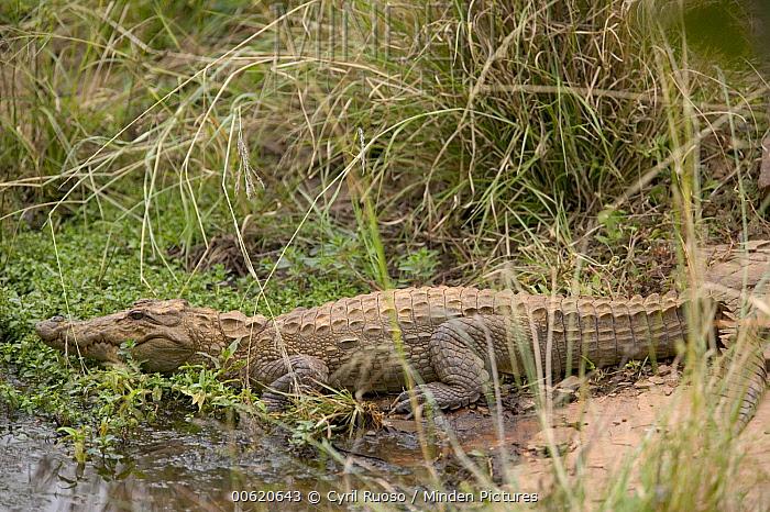 Mugger Crocodile (Crocodylus palustris) in marsh, Ranthambore Reserve, Rajasthan, India  -  Cyril Ruoso