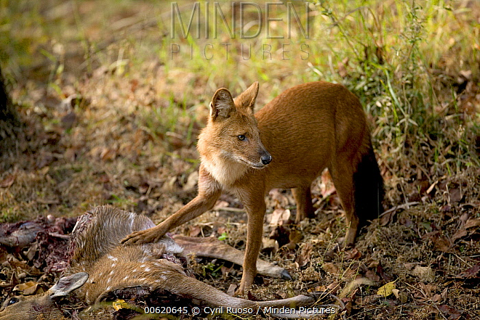 Dhole (Cuon alpinus) female feeding on Axis Deer (Axis axis), Bandhavgarh National Park, India  -  Cyril Ruoso