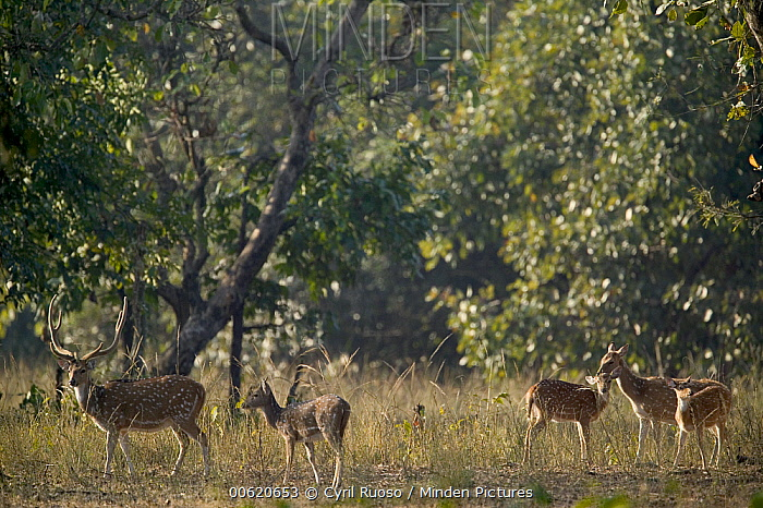 Axis Deer (Axis axis) male, female and young, Bandhavgarh National Park, India  -  Cyril Ruoso
