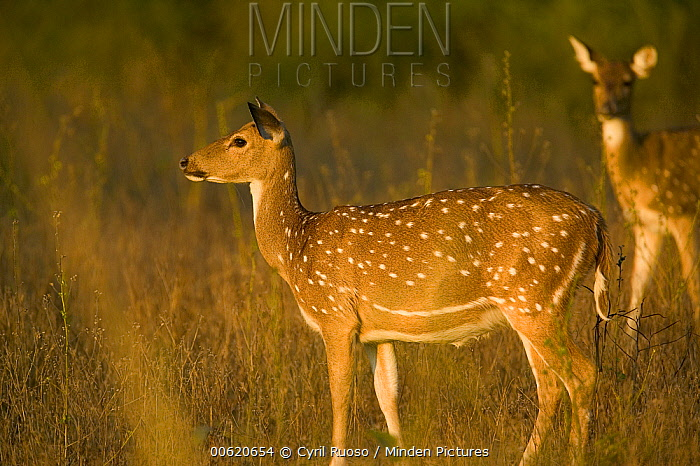 Axis Deer (Axis axis) doe, Bandhavgarh National Park, India  -  Cyril Ruoso