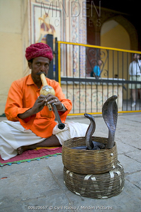 Snake charmer inside the city palace, Jaipur, India  -  Cyril Ruoso
