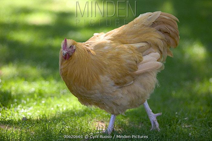 Chicken (Gallus domesticus) portrait, France  -  Cyril Ruoso