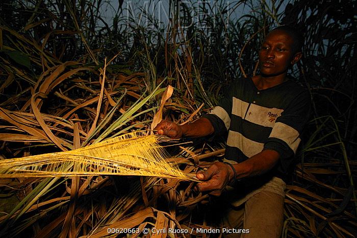 Barn Swallow (Hirundo rustica) hunter making glue from Llana sap for trap, Cross River State, Nigeria  -  Cyril Ruoso