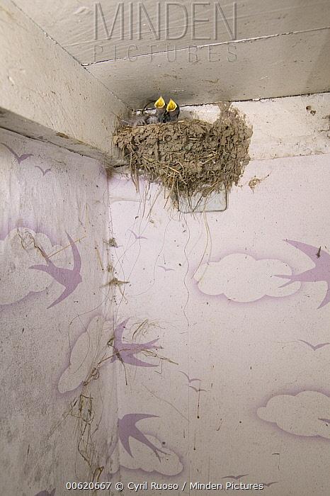 Barn Swallow (Hirundo rustica) nest inside farm storage room, Picardie, France  -  Cyril Ruoso