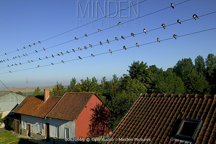 Barn Swallow (Hirundo rustica) group gather in Picardie, France before migrating to Africa  -  Cyril Ruoso