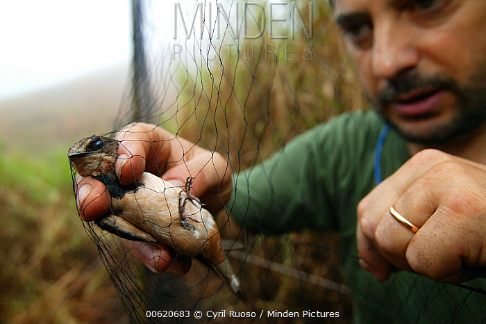 Barn Swallow (Hirunda rustica) researcher Pierfrancesco Micheloni collecting migrating individuals for banding, Ebakken, Nigeria  -  Cyril Ruoso