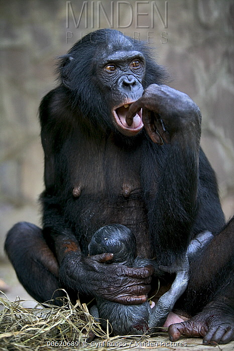Bonobo (Pan paniscus) female with newborn, Sanctuary Lola ya Bonobo, Kinshasa, Democratic Republic of the Congo  -  Cyril Ruoso
