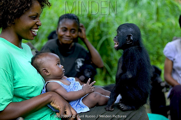 Bonobo (Pan paniscus) with her adoptive family who taught the Bonobo mother to care for and nurse her baby, Sanctuary Lola ya Bonobo, Democratic Republic of the Congo  -  Cyril Ruoso