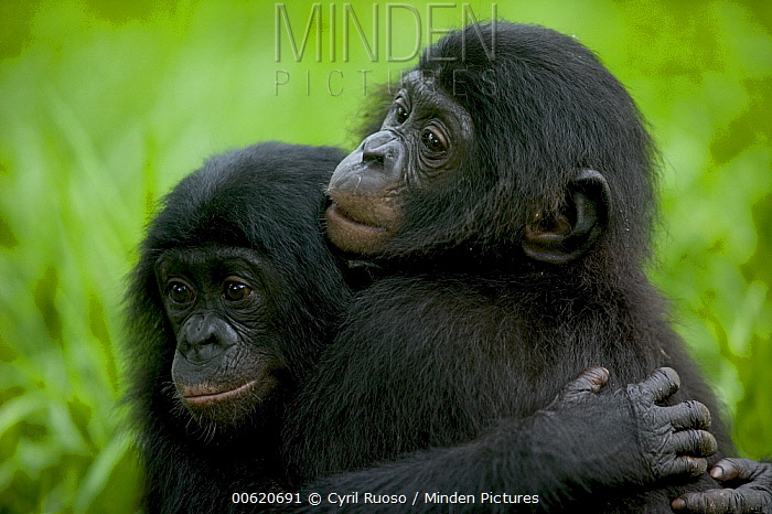 Bonobo (Pan paniscus) pair of orphans hugging, Sanctuary Lola ya Bonobo, Democratic Republic of the Congo  -  Cyril Ruoso