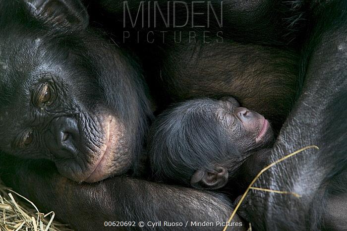 Bonobo (Pan paniscus), female with newborn a few hours old, Sanctuary Lola Ya Bonobo Chimpanzee, Democratic Republic of the Congo  -  Cyril Ruoso