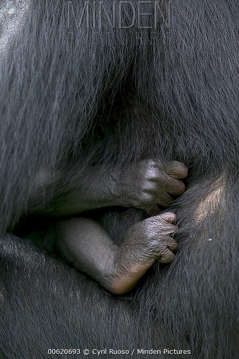 Bonobo (Pan paniscus), female with newborn, Sanctuary Lola Ya Bonobo Chimpanzee, Democratic Republic of the Congo  -  Cyril Ruoso