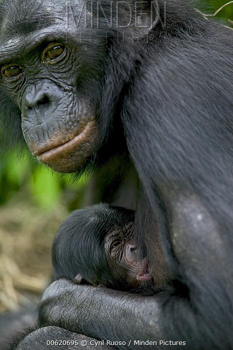 Bonobo (Pan paniscus) female nursing newborn a few hours old, Sanctuary Lola Ya Bonobo Chimpanzee, Democratic Republic of the Congo  -  Cyril Ruoso
