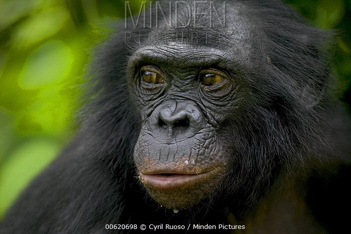 Bonobo (Pan paniscus) female orphan, Sanctuary Lola Ya Bonobo Chimpanzee, Democratic Republic of the Congo  -  Cyril Ruoso