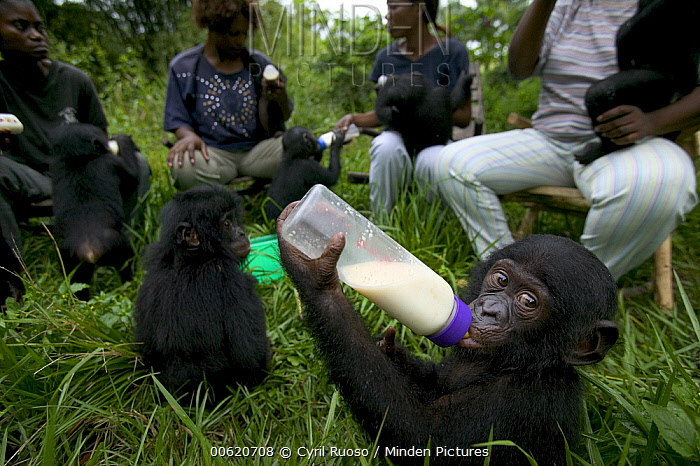 Bonobo (Pan paniscus), orphan infants at feeding time with their adoptive mothers, Sanctuary Lola Ya Bonobo Chimpanzee, Democratic Republic of the Congo  -  Cyril Ruoso