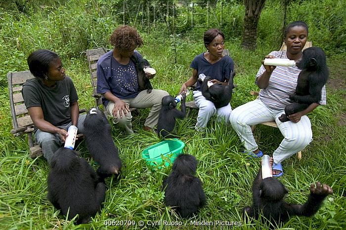 Bonobo (Pan paniscus), orphan infants at feeding time with their adoptive mothers, Sanctuary Lola Ya Bonobo Chimpanzee, Democratic Republic of the Congo  -  Cyril Ruoso