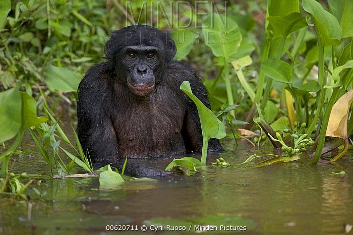 Bonobo (Pan paniscus) male orphan bathing, Sanctuary Lola Ya Bonobo Chimpanzee, Democratic Republic of the Congo  -  Cyril Ruoso