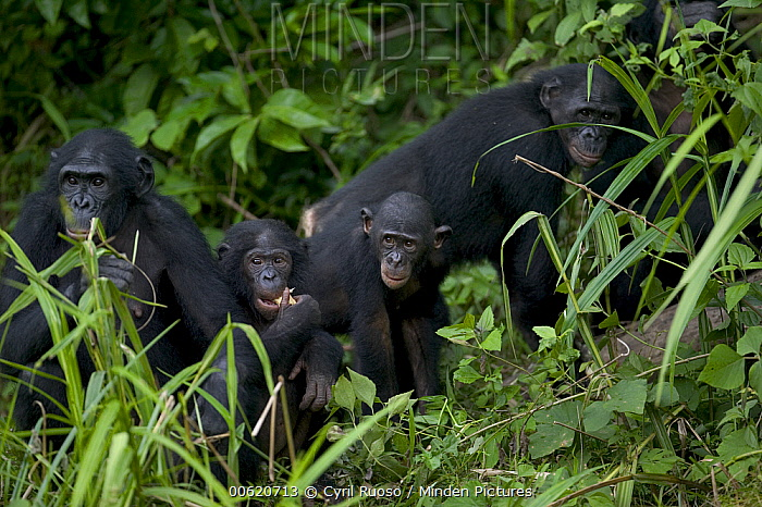 Bonobo (Pan paniscus) orphans, Sanctuary Lola Ya Bonobo Chimpanzee, Democratic Republic of the Congo  -  Cyril Ruoso