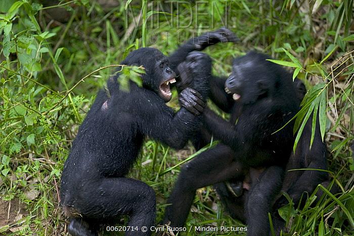Bonobo (Pan paniscus) orphans playing, Sanctuary Lola Ya Bonobo Chimpanzee, Democratic Republic of the Congo  -  Cyril Ruoso