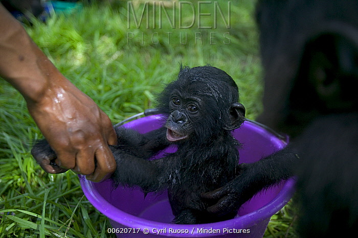 Bonobo (Pan paniscus), bath time for orphan infants with their adoptive mother, Sanctuary Lola Ya Bonobo Chimpanzee, Democratic Republic of the Congo  -  Cyril Ruoso