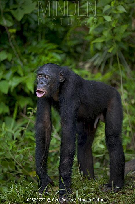Bonobo (Pan paniscus) male orphan, Sanctuary Lola Ya Bonobo Chimpanzee, Democratic Republic of the Congo  -  Cyril Ruoso