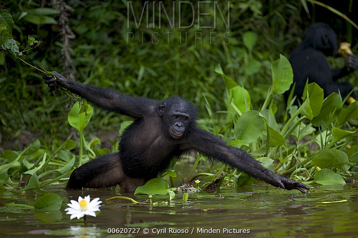 Bonobo (Pan paniscus), orphan reaching for floating food, Sanctuary Lola Ya Bonobo Chimpanzee, Democratic Republic of the Congo  -  Cyril Ruoso