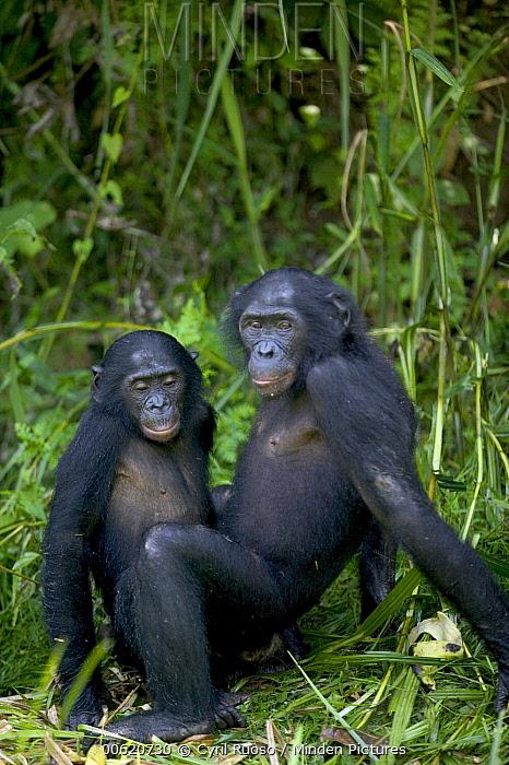 Bonobo (Pan paniscus) orphans, Sanctuary Lola Ya Bonobo Chimpanzee, Democratic Republic of the Congo  -  Cyril Ruoso