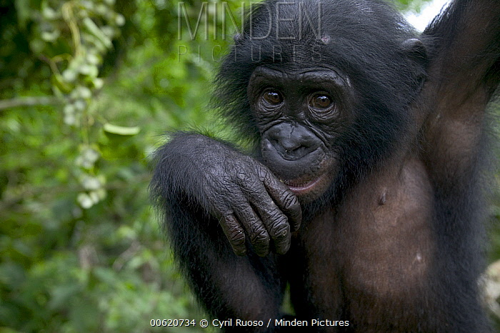 Bonobo (Pan paniscus) juvenile orphan, Sanctuary Lola Ya Bonobo Chimpanzee, Democratic Republic of the Congo  -  Cyril Ruoso
