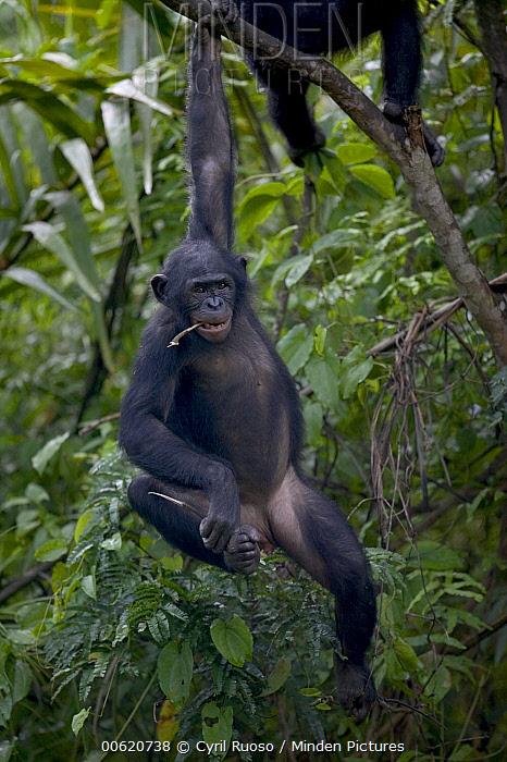 Bonobo (Pan paniscus) adolescent orphan hanging from branch, Sanctuary Lola Ya Bonobo Chimpanzee, Democratic Republic of the Congo  -  Cyril Ruoso