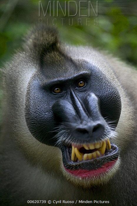 Drill (Mandrillus leucophaeus) adult male appeasement face, Pandrillus Drill Sanctuary, Nigeria  -  Cyril Ruoso