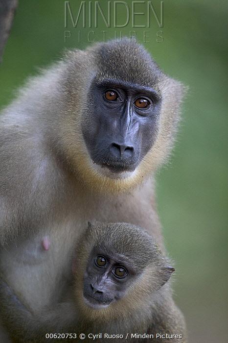 Drill (Mandrillus leucophaeus) adult female and young, Pandrillus Drill Sanctuary, Nigeria  -  Cyril Ruoso